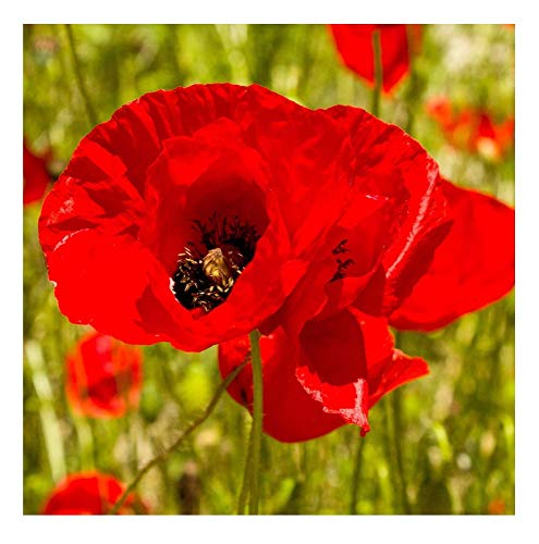 - David's Garden Seeds Flower Poppy Corn SL1611 (Red) 500 Non-GMO, Heirloom Seeds
