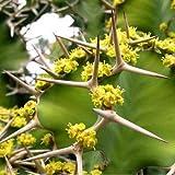 Cow Horn Cactus Seeds (Euphorbia grandicornis) 20+Seeds