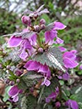 Home Comforts Peel-n-Stick Poster of Spotted Deadnettle Lamium Maculatum Spotted Henbit Poster 24x16 Adhesive Sticker Poster Print