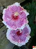 "EXOTIC PINK RUFFLES HIBISCUS WELL ROOTED LIVE STARTER PLANT 5"" TO 7"" TALL"