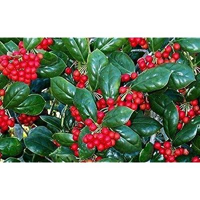 Holly Ilex Dwarf Burfordi Qty 20 Live Plants Evergreen Ornamental Shrub Burford : Garden & Outdoor