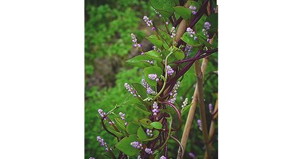 Amazon.com: 25 rojo Malabar espinacas romana – gmo-open ...