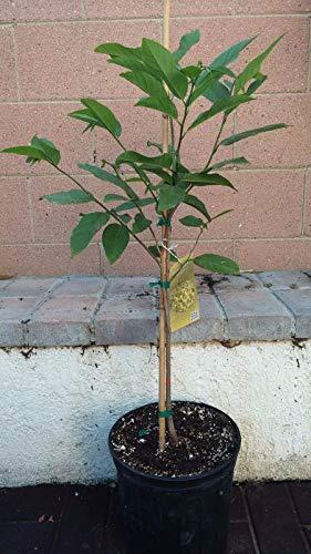 NA DAI Sugar Apple Annona Squamosa Tropical Fruit Tree by bluestargarden168 (Image #1)