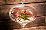 Hinterland Trading Air Plant Miniata Terrarium Kit Large Hanging Glass Stunner Teardrop with White Seashells