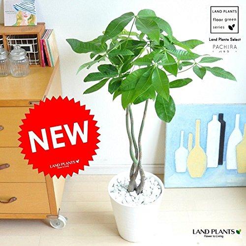 LAND PLANTS パキラ 曲がり樹形 3本仕立て 白セラアート鉢 B06XBYZKQ3