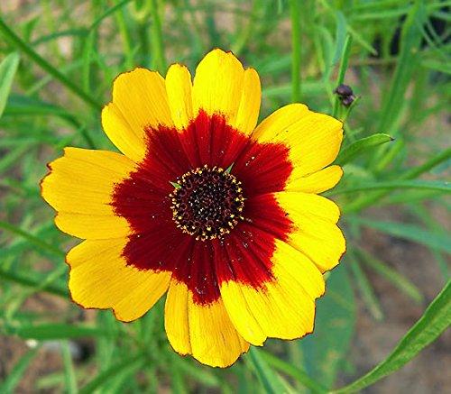 - Coreopsis Dwarf Plains 100 Fresh Seeds