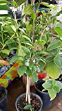 9EzTropical - Soursop Tree - 1 Plants - 3 to 4 Feet Tall - Grow in 3 Gal Put but Ship in 1 Gal Pot