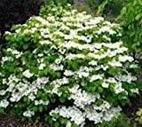 full shade shrubs Shasta Doublefile Viburnum - Live Plant - Full Gallon Pot