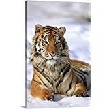 Canvas On Demand Premium Thick-Wrap Canvas Wall Art Print Entitled Siberian Tiger, Panthera Tigris altaica, Asia, Young Male in Winter