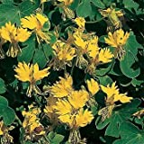 Outsidepride Nasturtium Canary Creeper - 100 Seeds
