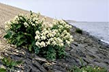 5 SEA Kale Crambe Maritima Seakale Perennial Edible Vegetable White Flower Seeds