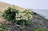 5 SEA Kale Crambe Maritima Seakale Perennial Edible Vegetable White Flower Seeds