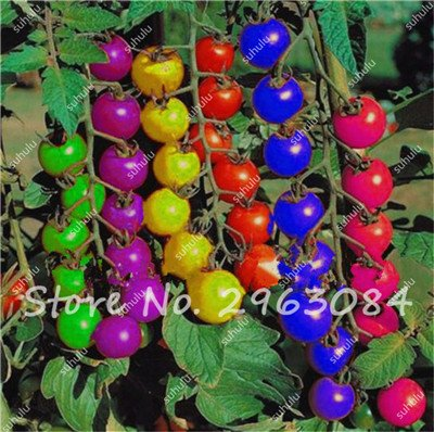 - 100 Pcs Rare Rainbow Tomato Seeds Ornamental Pot Organic heirloom seeds vegetables herb food for Home Garden plant bonsai seeds 8