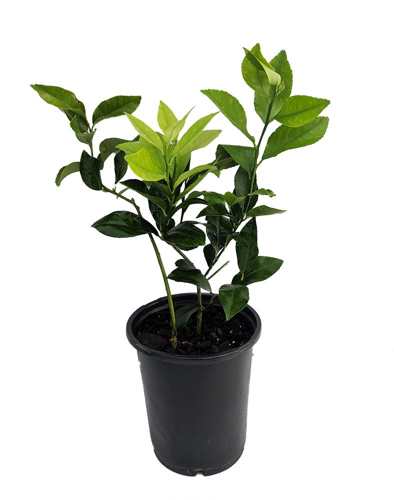 Four Seasons Eureka Lemon Tree - 6'' Pot - NO Shipping to TX, FL, AZ, CA, LA, HI