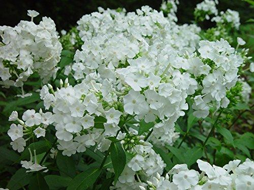 David Hardy Tall Phlox- White-Perennial of the Year 2002- Live Plant- Gallon Pot