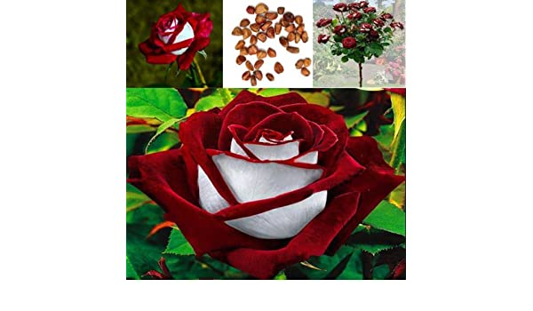 100x Osiria Ruby Rose Flower Seeds Home Garden Plant Red White