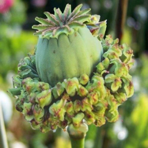 40+ Papaver SOMNIFERUM Hen & Chickens Papaver Poppy/Annual Flower ()