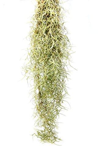 (Tillandsia Usneoides Air Plant/Spanish Moss / 2-3 Feet Long (1))
