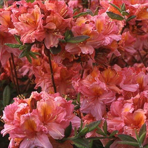 (Rhododendron Knaphill Hybrids DECIDUOUS Azalea Seeds! MLG -381)