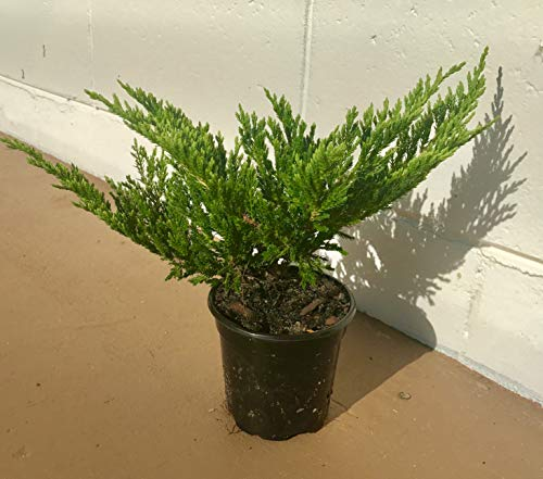 Creeping Juniper - Prince of Wales - 30 Live Plants in 4'' Containers - Evergreen Groundcover by Florida Foliage (Image #2)