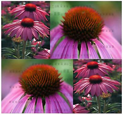 PURPLE CONEFLOWER Seed - Echinacea purpurea FLOWER SEEDS - 6 Inch LG PURPLE BLOOMS - FULL SUN or PARTIAL SHADE - Zone 3 - 9