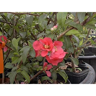 Chaenomeles Japonica Red Flowering Quince Old Timey Tree Plant Shrub Cannot Ship to CA, AZ, AK, HI, OR or WA PER State Laws: Toys & Games