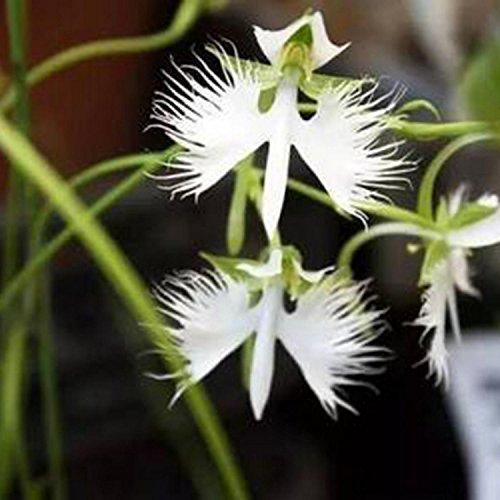 - Elever 100PCS Cymbidium Orchid Plants Seeds Potted Bonsai Garden Terrace Orchid Flower Plant Seeds