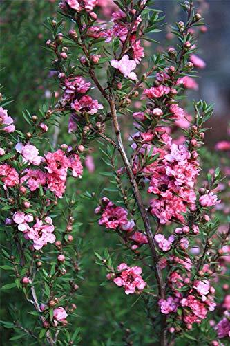 - Leptospermum scoparium Crimson Glory - New Zealand Tea Tree, Manuka 3 Plants in 9cm Pots