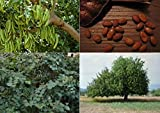 Carob Tree (Ceratonia siliqua) - 30 Fresh Seeds Chocolate Tree - Bonsai ideal