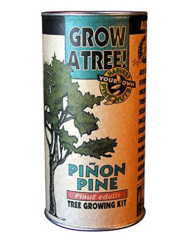pinon-pine-grow-kit-pinus-edulis