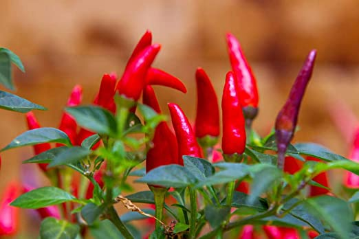 Amazon.com : Tabasco Hot Peppers Seeds, 1000+ Premium Heirloom Seeds, 90% Germination Rates Hot and Full of Flavor! A Must Have for Your Home Garden! : Garden & Outdoor