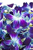Fresh Cut Flowers - Dendrobium Orchids Bom Tinted Blue (Free Ribbon) by Eflowerwholesale