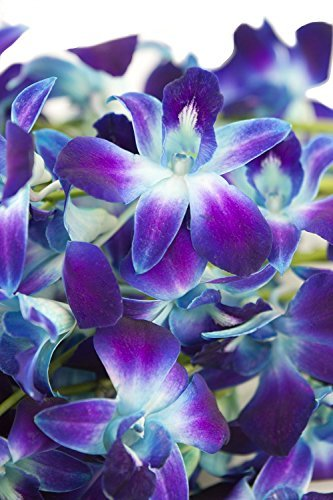 Fresh Cut Flowers - Dendrobium Orchids Bom Tinted Blue (Free Ribbon) by Eflowerwholesale by eflowerwholesale