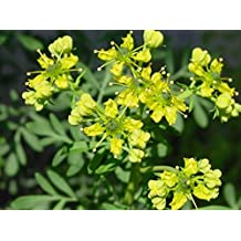 Seeds Rue (Ruta Graveolens) Herb of Grace Organically Grown Heirloom