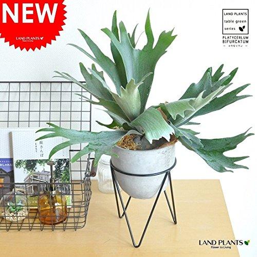 LAND PLANTS コウモリラン アイアンスタンド × メントポット B06XC6G3D6