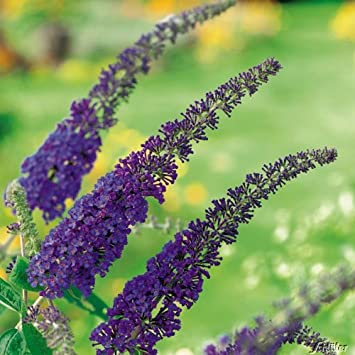 Schmetterlingsflieder Empire Blue Sommerflieder Buddleja Pflanze