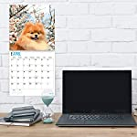 2020 Pomeranians Wall Calendar by Bright Day, 16 Month 12 x 12 Inch, Cute Dogs Puppy Animals Pom-Pom Canine 6