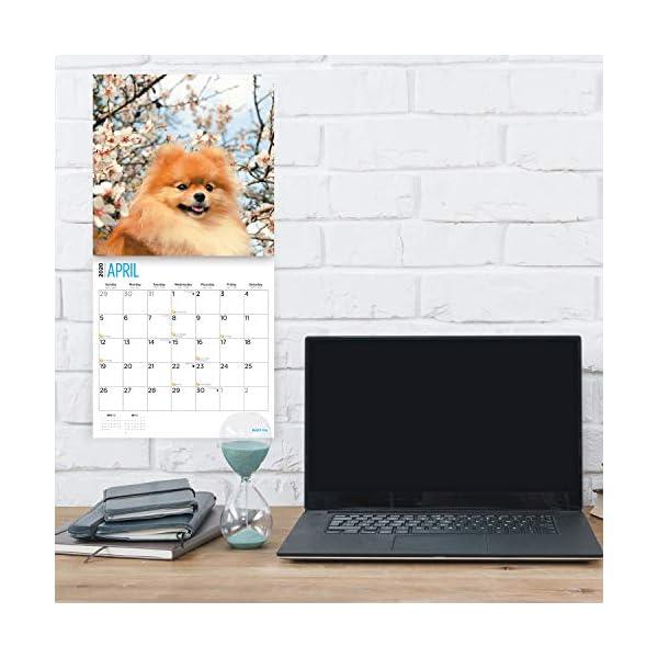 2020 Pomeranians Wall Calendar by Bright Day, 16 Month 12 x 12 Inch, Cute Dogs Puppy Animals Pom-Pom Canine 3