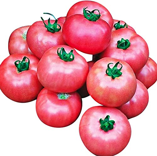 Organic Bradley Tomato Seeds - Great for Canning and Freezing as All Ripen at The Same Time - ()