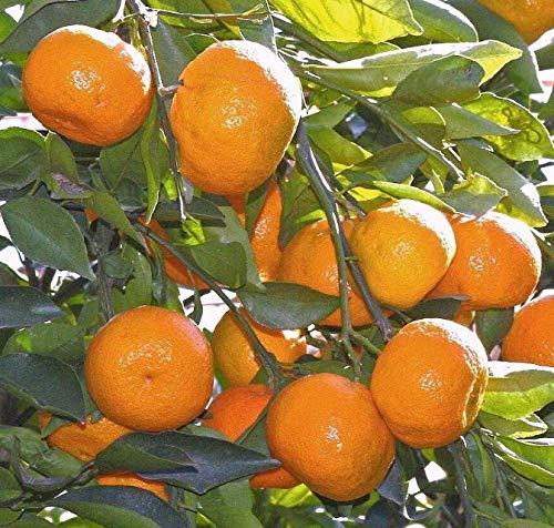 Live Plant Satsuma Fruit Tree Real Live Plant Citrus 3