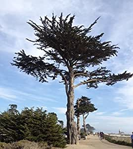 50 Monterey Cypress Tree Seeds, Cupressus Macrocarpa