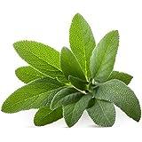 Seedscare Sage Broad Leaf Seeds(Pack of 40)