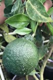 Shiranui Tangerine Mandarin, Sumo Dekopon Hybrid, Orange Seedless Sweet Fruit Citrus Tree Plant (Cant Ship AZ CA LA TX)