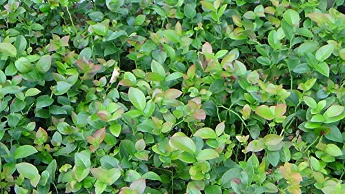 100 Blueberry Bush Plants Mixed Varieties Suitable for Your Climate Zone-State Inspected by Bon Bon's Blueberries (Image #3)