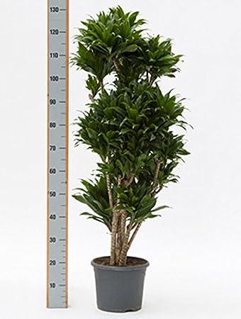 Drachenbaum Compacta große Zimmerpflanze wenig Licht ...