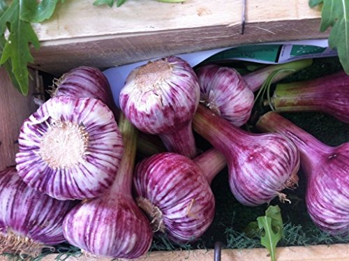 Russian Red, Garlic For planting (3 Large Heirloom Bulbs) Untreated,Organic! ()