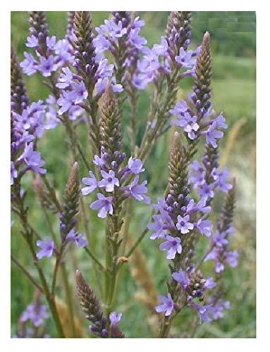 Hardy Perennial 4000 Seeds Hypericum perforatum St John/'s Wort