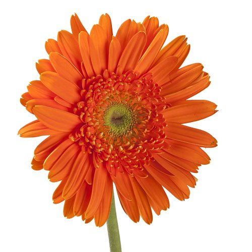 Wholesale Gerberas (70 Orange) by eFlowy