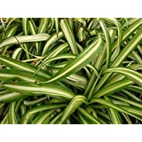 Airplane Plant Cream n' Green Spider Plant