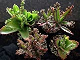 ''MOTHER OF MILLIONS'' AND ''MOTHER OF THOUSANDS'' 4 POT SUCCULENT COMBO